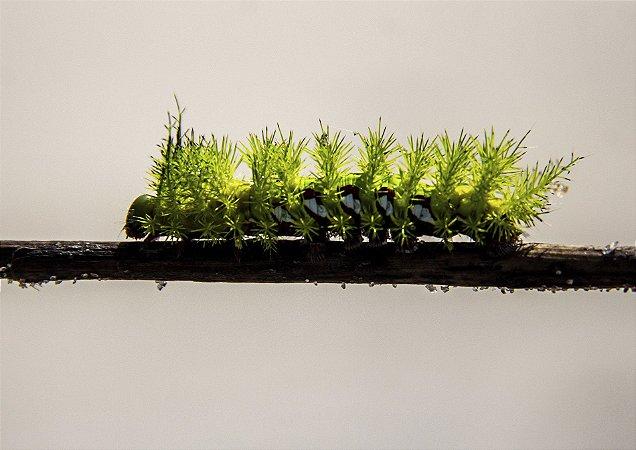 Lagarta verde no galho