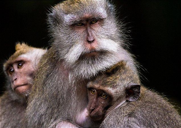 Família de macacos