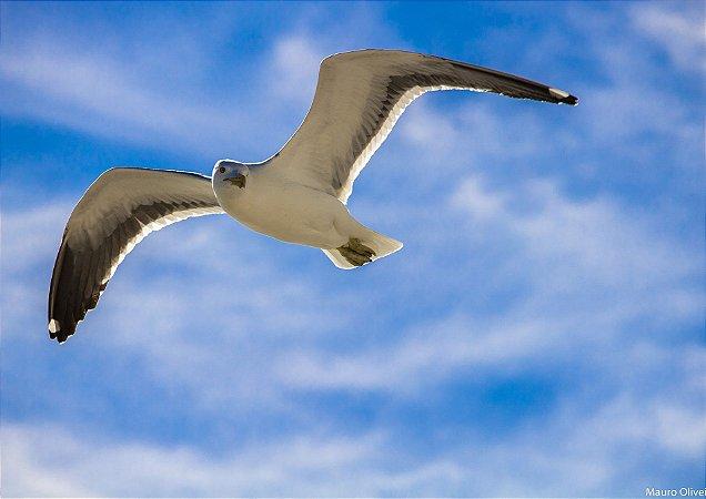 Gaivota planando sob o céu azul - Barra de Guaratiba