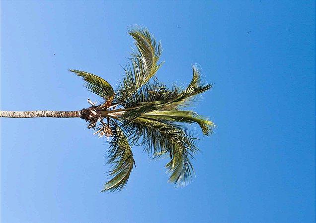 Coqueiro em céu azul