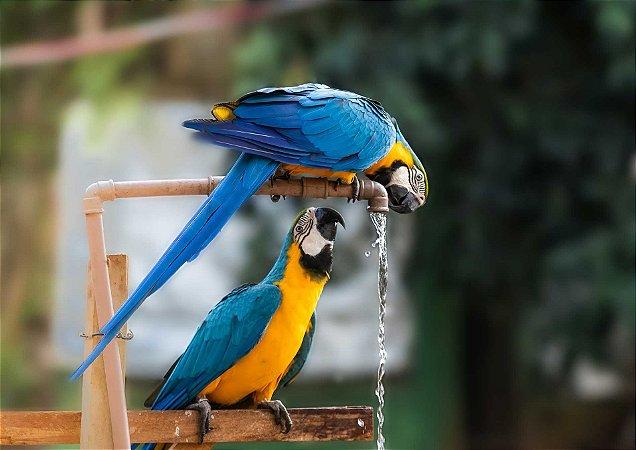 Araras bebendo água