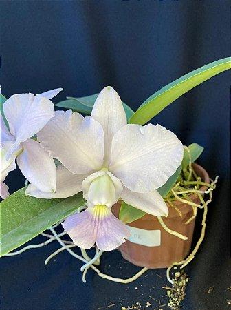 Cattleya Walkeriana Coerulea