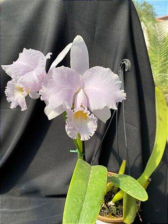 Cattleya Trianae Concolor Alcardo FCC