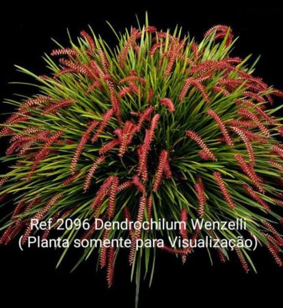 Muda Dendrochilum Wenzelli