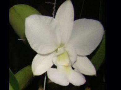 "Cattleya Walkeriana Albacens ""Nevaska"""