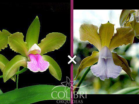 Cattleya Bicolor Semi Alba x Coerulea