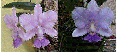 "Cattleya Walkeriana Coerulea ""Apoteose"" x Cattleya Walkeriana Coerulea ""A15 Caliman"""