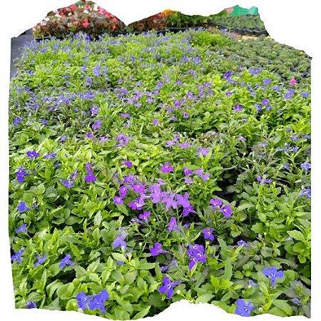 Flor Lobélia cx c/ 15 mudas