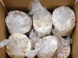 Semente de Shiitake (Cultivo em Toras) - Quantidades Comerciais - caixa Fechada com 12 pacotes