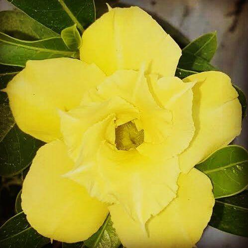 Rosa do Deserto AMARELA DOBRADA. ENXERTO