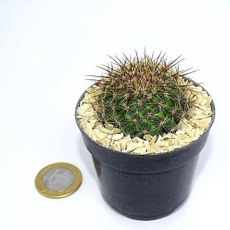 Mammillaria mayovensis