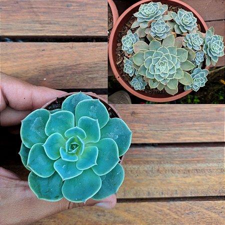Echeveria pumila var. glauca (baby vaso6)