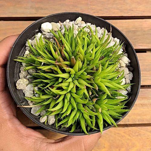 Haworthia chloracantha denticulifera