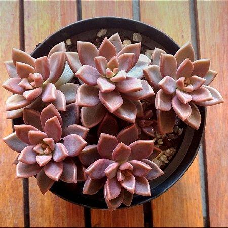 Sedum bronze (vaso cheio)