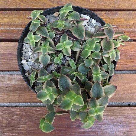 Crassula pellucida rubra variegata