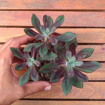 Echeveria nodulosa (3 rosetas)