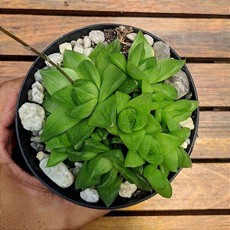 Haworthia cymbiformis (touceira varias mudas)