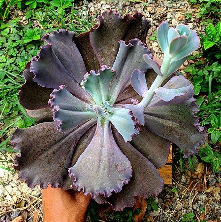 Echeveria Gibbiflora 'Mauna Loa' brasileira (gigante cuia)