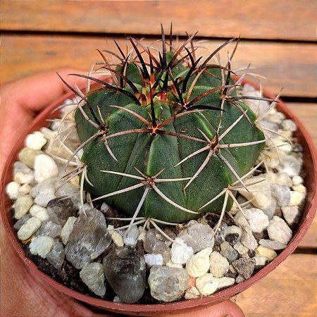 Melocactus (Cabeçã de Frade) vaso11