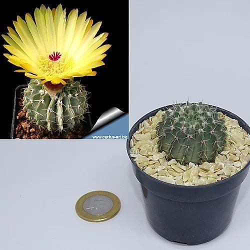 Notocactus buiningii (3cm)