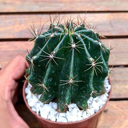 Hamatocactus setispinus (vaso9)