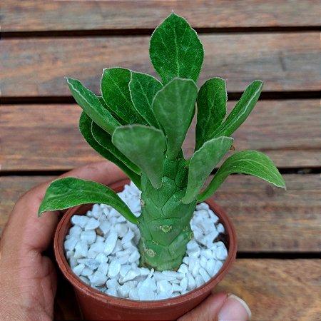 Monadenium lugardiae (vaso7)