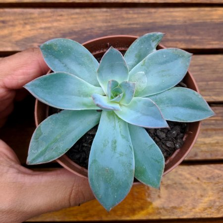 Echeveria 'Cansu' (cante x subrigida vaso9)