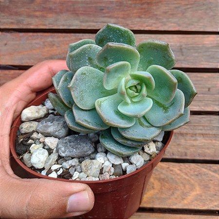 Echeveria titubans (vaso11)