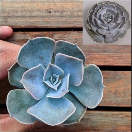 Echeveria 'Pollux' (vaso6)