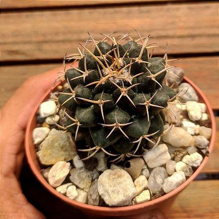 Mammillaria magnimama (vaso9)
