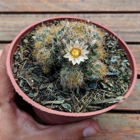 Mammillaria prolifera (vaso11)