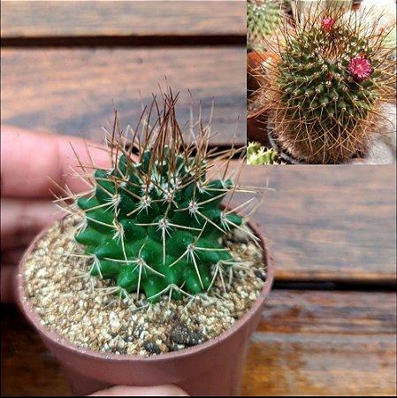 Mammillaria obconella (vaso6)