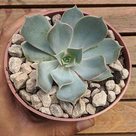 Echeveria lilacina (8cm)