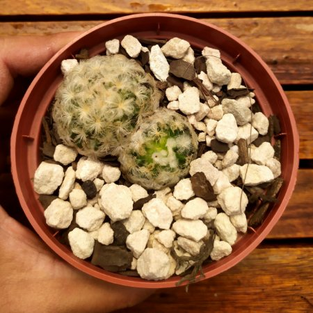Mammillaria plumosa (vaso11 única)