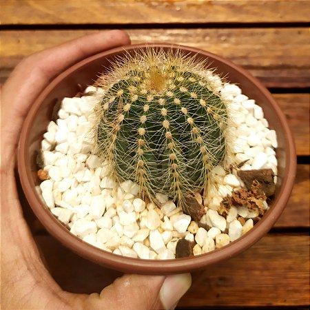 Eriocactus magnificus (vaso11)