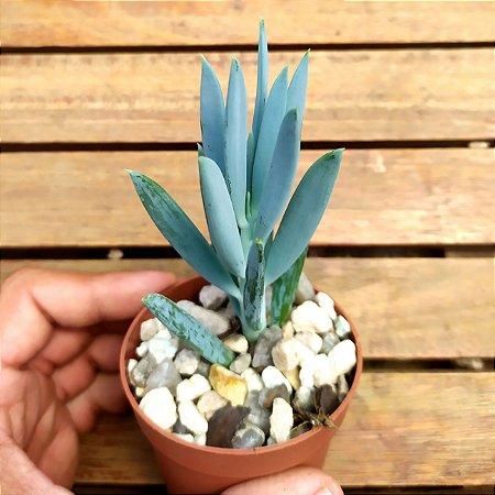 Senecio talinoides subsp. mandraliscae (Azul - vaso9)