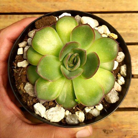 Echeveria agavoides hibrida (única vaso11)