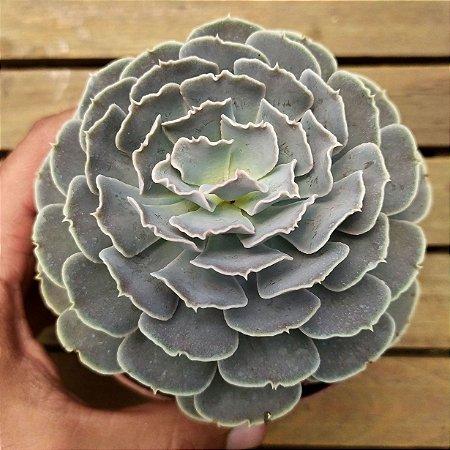 Echeveria runyonii 'San Carlos' (única 12cm)