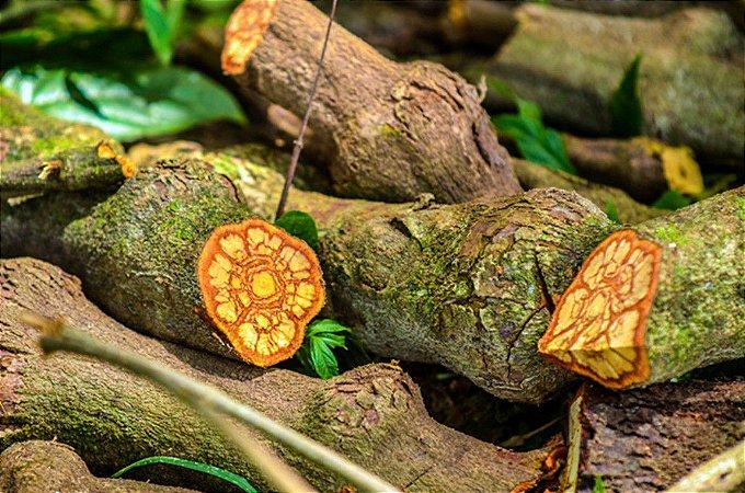 Jagube (Banisteriopsis caapi) - 100 gramas do cipó inteiro