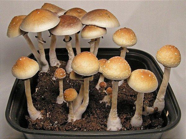 Psilocybe cubensis B+ Seringa de 5ml com esporos para cultivo