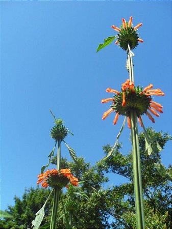 Klip dagga (Leonotis nepetifolia) - 20 sementes para cultivo
