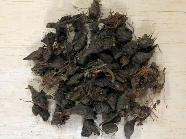 Dandá da Costa (Cyperus rotundus) - 20 gramas de Raízes