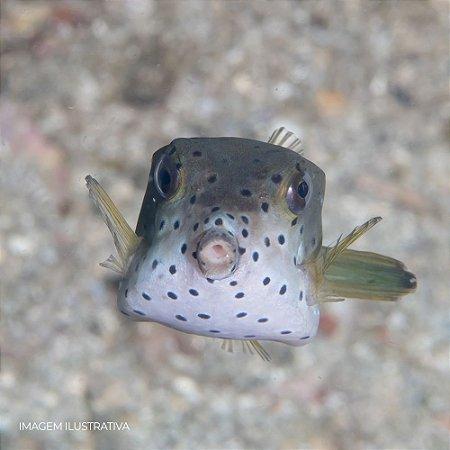 White Boxfish