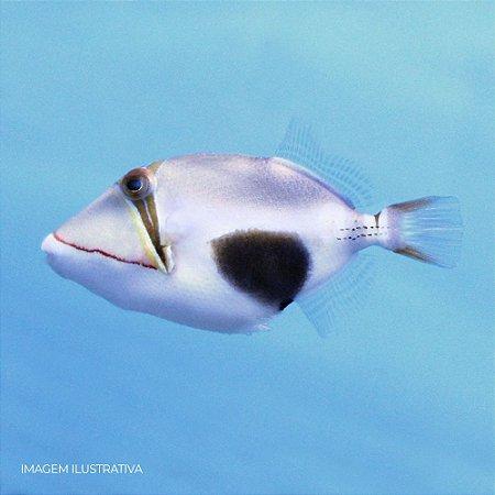 Bursa Triggerfish