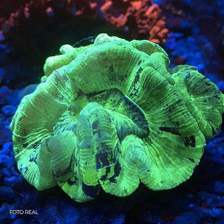 Brain Coral Green