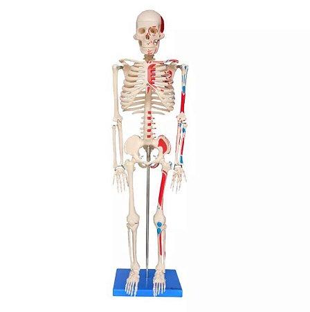 Esqueleto Humano Articulado 85 Cm Com Inserções Musculares