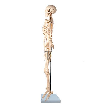 Esqueleto em Resina 85 cm Articulado Com Haste Anatomic