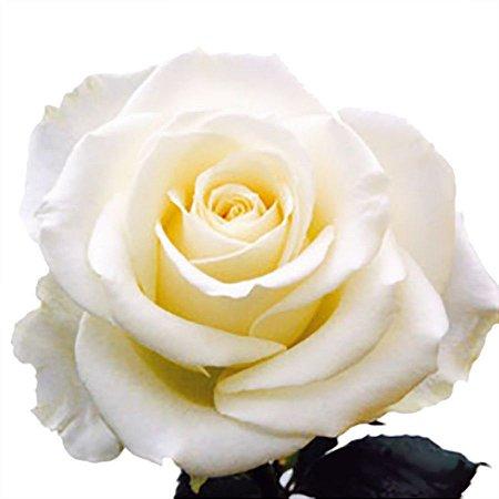 Rosas Brancas Avalanche - 01 Pacote com 20 unidades  - Escolha o tamanho abaixo: