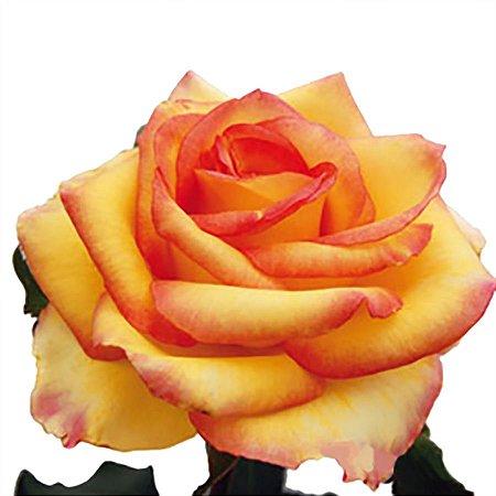 Rosas Ambiance - Pacote com 20 unidades - Escolha o tamanho abaixo: