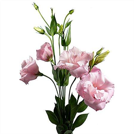 Lisianthus Rosa Bebê Pacote